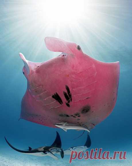 😍 5 волшебных фото единственного розового ската в мире