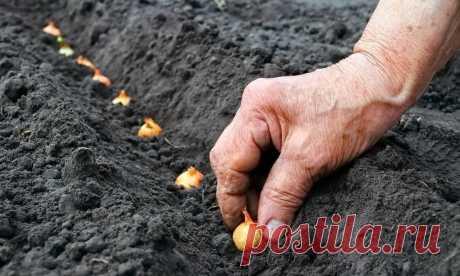 Самый удачный способ посадки лука - My izumrud Сегодня мы расскажем вам о самом результативном способе посадки лука. Этим способом...