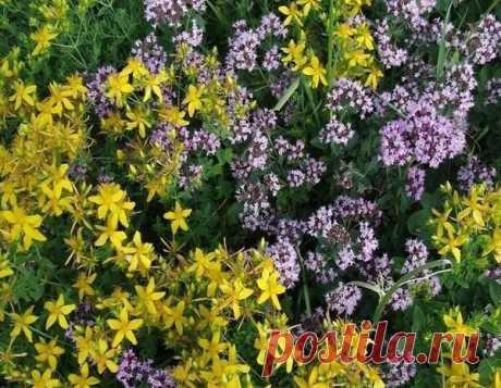Растения и травы для чистки сосудов. Что необходимо обязательно засушить летом для чая и настоев. | Дачные советы | Яндекс Дзен