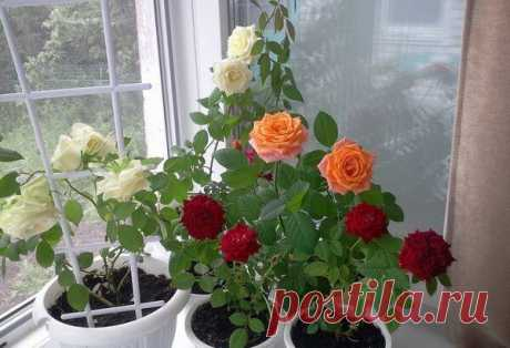 Care of a room rose after purchase — Flora