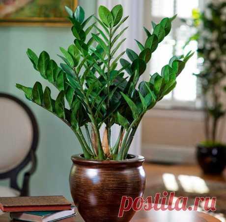 Что делают опытные любители цветов для того, чтобы замиокулькас начал быстро расти | В моём саду | Яндекс Дзен
