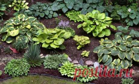The guide by types and grades a host (names, a photo, descriptions)   In a flower bed (Огород.ru)