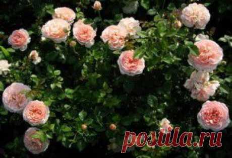 Высаживание корнесобственных плетистых роз | Розы в разрезе