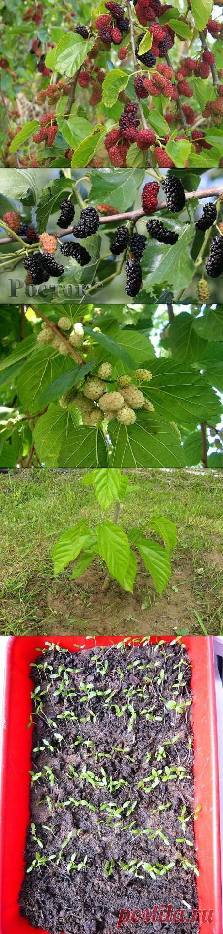 Шелковица (тутовое дерево) - посадка и уход. Шелковичное дерево может достигать 35 м в высоту, но в условиях сада нужно формировать крону так, чтобы дерево было не выше 2-3 м. Живет шелковица чрезвычайно долго, 200-300 лет. На 5 год после посадки можно ждать урожай, а с привитых деревьев — еще раньше. 10-летнее дерево дает до 100 кг плодов.