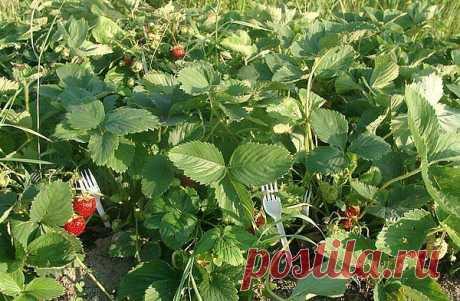 Пластмассовые вилки для выращивания земляники | Хитрости жизни