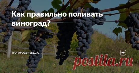 Как правильно поливать виноград? Из-за того, что виноград характеризуется наличием мощной корневой системы, он легко может переносить засушливый период, но без систематического полива, он хуже плодоносит.
