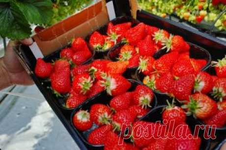 To treble a strawberry harvest. Cunnings which will lead to records in a kitchen garden to receive many berries need to be given to plants what they love.