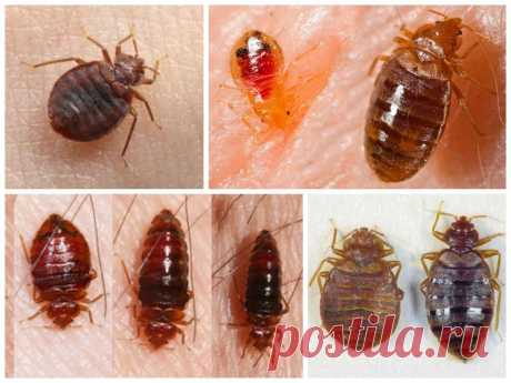В квартире завелись клопы, что делать? Домашние клопы – это опасные насекомые с ночным образом жизни. Эти паразиты прячутся в труднодоступных и темных местах и выходят на охоту когда в доме все уснули. Как эти насекомые проникают в человеческие жилища? Завелись клопы в квартире что делать? Прочитайте эту небольшую статью и найдите...