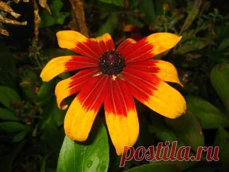 Цветок  рудьбекии.   ---  Карл Линней назвал это растение в честь своего друга и учителя шведского ботаника Олафа Рудбека (1630-1702), профессора, который преподавал в Упсальском университете медицину и ботанику.