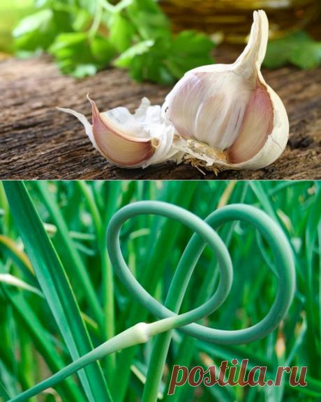 Как правильно посадить чеснок весной? — 6 соток