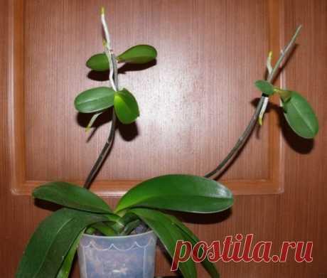 Как заставить орхидею фаленопсис «родить деток»