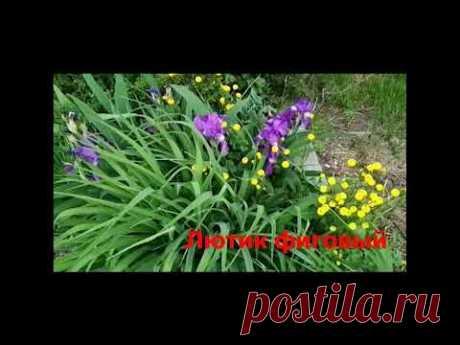 Цветущие многолетники  с минимальным уходом.Помогут быстро создать цветник или станут сорняками?