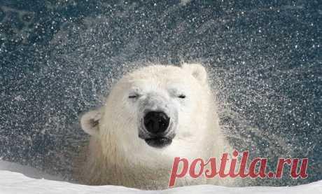 О чем молчат зоологи: какого цвета белый медведь на самом деле