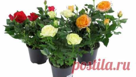 Как пересадить розу после покупки?