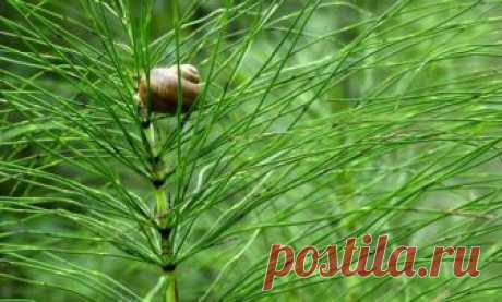 Grass of a horsetail field: properties, recipes of broths and tinctures
