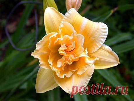 Секреты обильного цветения лилейников — Делаем руками