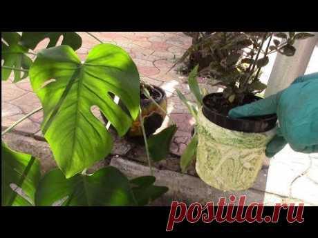 Как понять когда растению нужна перевалка?