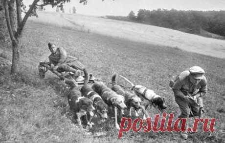 Ездовые собаки, собаки-связисты, собаки-санитары и собаки-миноискатели – эти животные проявили преданность и смелость, помогая людям во время Великой Отечественной войны.