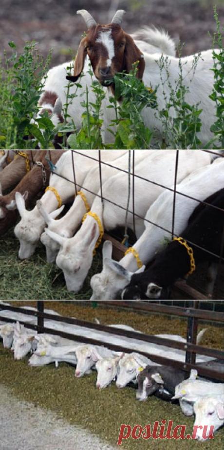 Как кормить козу после окота – рационы для раздоя