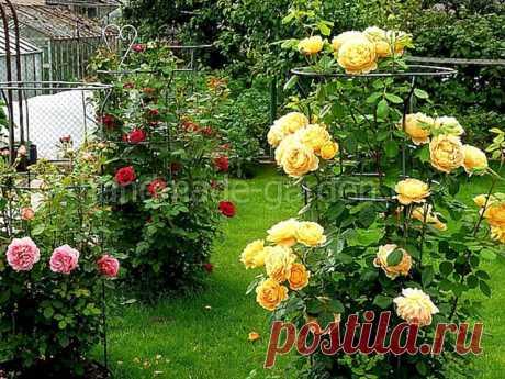 Прекрасная шаровая роза-шраб: нюансы посадки и ухода за цветущим кустарником