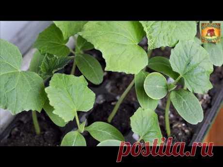 Самый эффективный метод выращивания раннего урожая огурцов Дачные советы