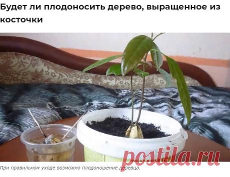 Авокадо из косточки в домашних условиях: посадка, выращивание и уход