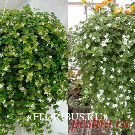 Ампельная бакопа блутопия и сноутопия: цветы на фото, выращивание из семян своими руками