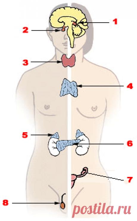 Эндокринная система — Википедия
