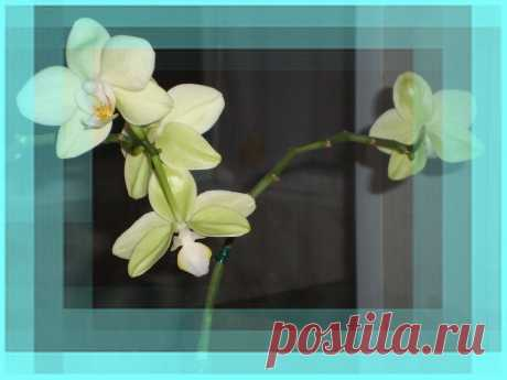 Молодая Архидея