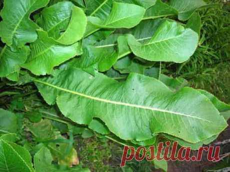 Листья хрена: уникальные лечебные свойства и рецепты