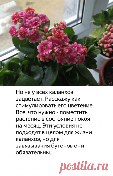 Как заставить цвести каланхоэ?   садоёж   Яндекс Дзен