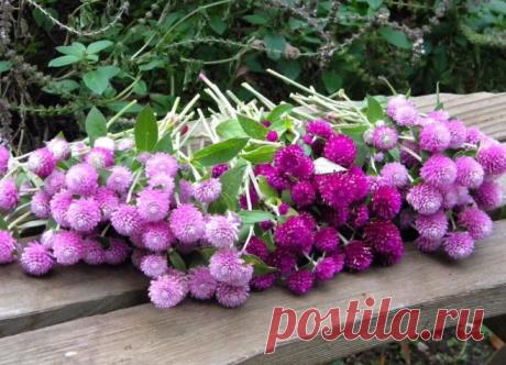 Гемфрена – интересный многолетник, цветущий все лето | Огород просто | Яндекс Дзен