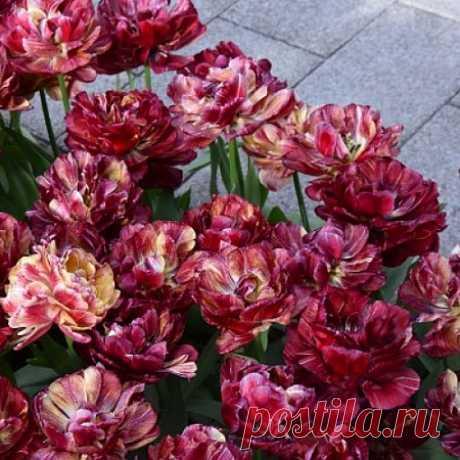 Тюльпаны Ночной дозор Цена 750 руб, 3 шт Махровый поздний. Сорт меняет цвет бутонов во время цветения. На фотографии представлены все виды расцветок, которые могут присутствовать на кусте одновременно.  Готовый букет — и в вазу на стол, и в подарок! https://ad.admitad.com/g/z89tomgcez86c3419ba4006e16d0..