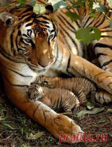 Тигр Мама И Ее Дети....