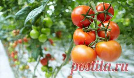 Когда прекращать полив помидор в теплице Как правильно поливать помидоры в теплице для хорошего урожая и когда прекратить их полив: советы и хитрости огородников.