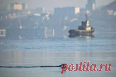 Тюлень ларга в бухте Золотой рог, Владивосток. Автор фото – Виталий Берков
