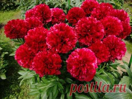 When and how to replace peonies – a success crib for the flower grower! | 6 hundred parts