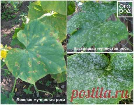 Как продлить плодоношение огурцов | Огурцы (Огород.ru)