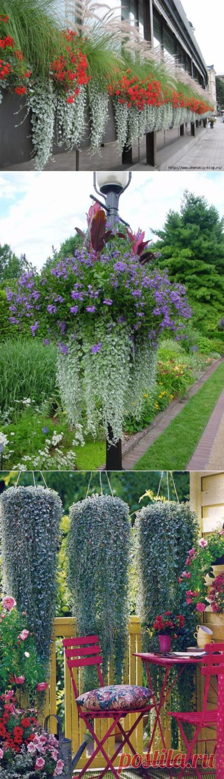 """Дихондра – как вырастить нежный серебристый """"водопад"""" в саду!"""
