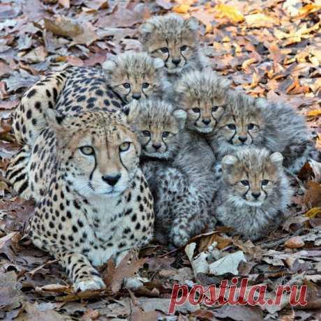Semeistvo de los guepardos