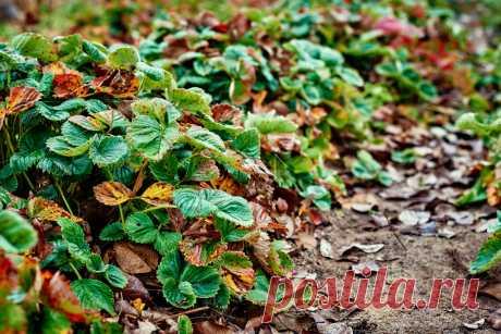 Осенние подкормки для земляники садовой. Органические и минеральные. Фото — Ботаничка.ru
