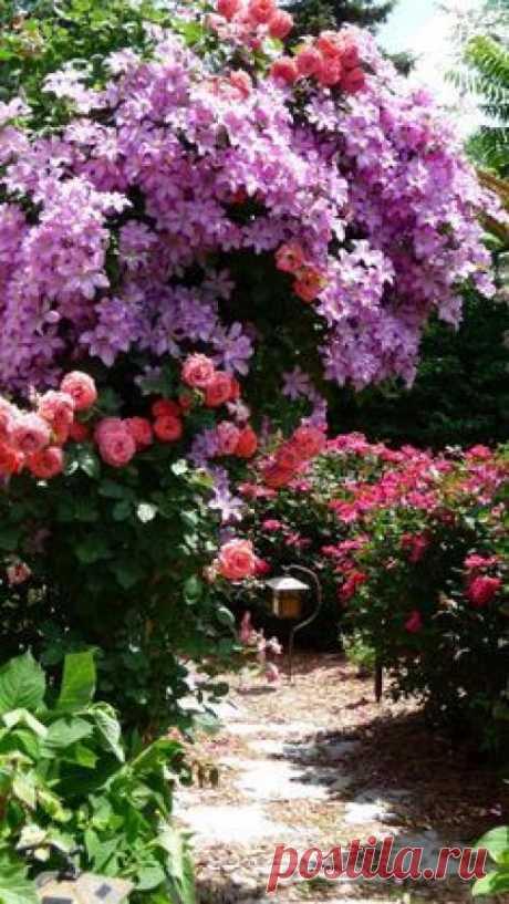 """Как подобрать """"Ключи"""" к клематису. """"Из Цветов я Выращиваю в Своем Саду Только Клематисы и Розы"""", - говорит почвовед - эколог Павел траннуа, который любит эти цветы за мощь и силу, а главное за то, что цветут с июня по сентябрь: всё лет..."""