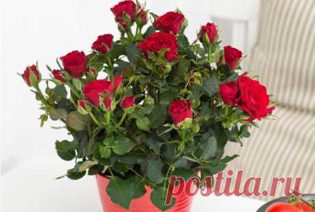 Розы на подоконнике - правильная посадка и уход