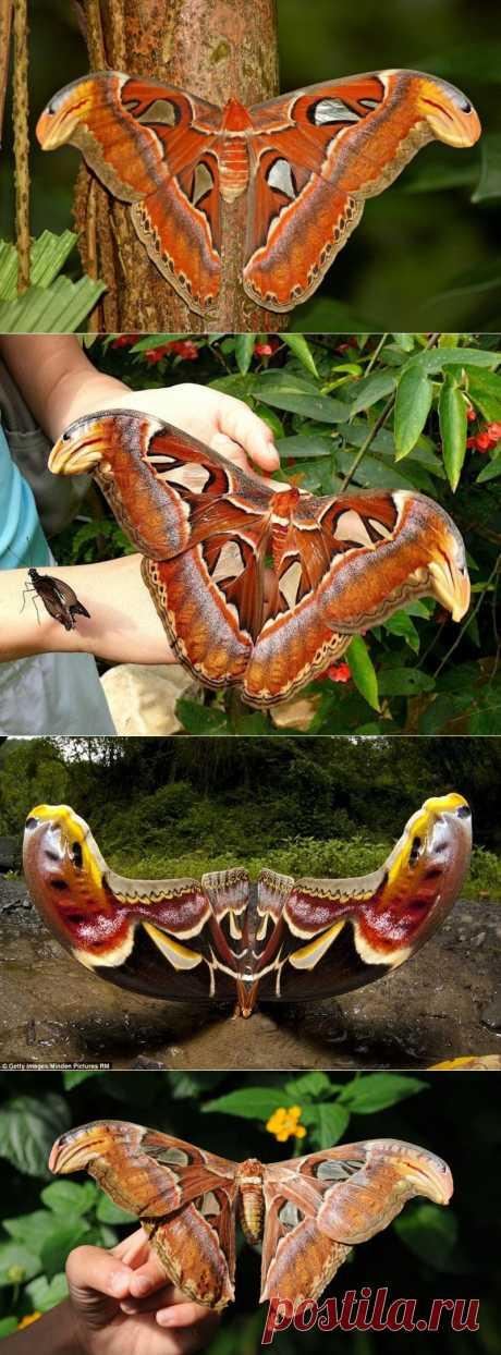 Павлиноглазка Атлас (Attacus atlas)-крупнейшая бабочка на планете | В мире интересного