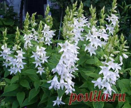 Неприхотливые растения, которые будут радовать потрясающими роскошными цветами, а взамен потребуют всего лишь немного заботы | САД | Яндекс Дзен