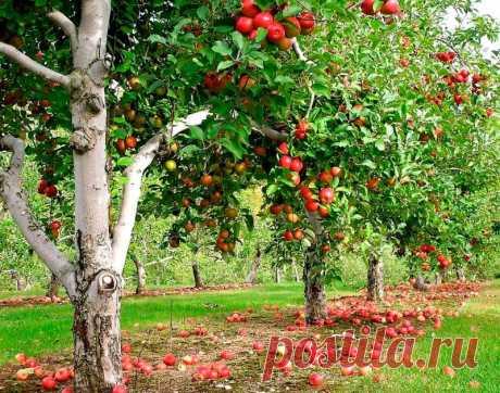 Чем подкормить яблоню, чтобы плоды были крупнее, слаще и не опали | Рекомендательная система Пульс Mail.ru