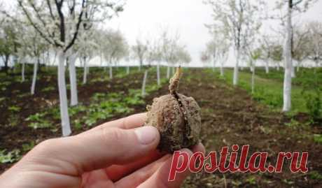Как посадить грецкий орех из ореха осенью в домашних условиях
