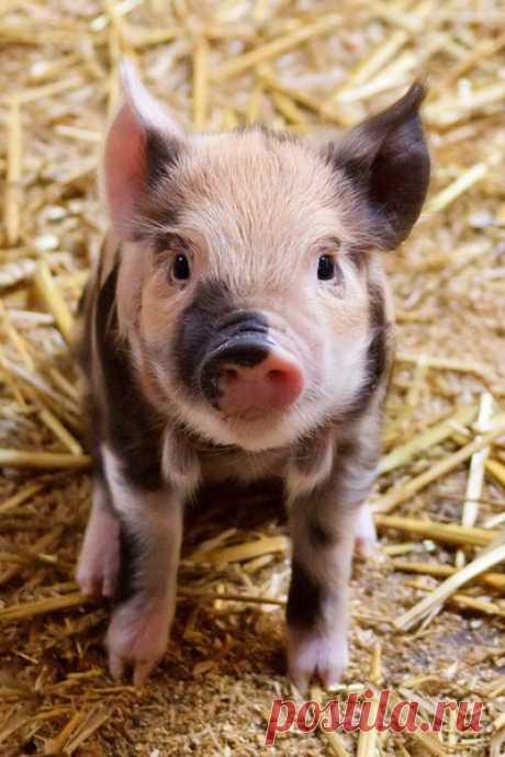 🌏Китай закупает сперму свиней | 🌏Мирное время🌍 | Яндекс Дзен