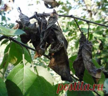 Причины почернения листьев на груше и мой способ лечения | На Даче | Яндекс Дзен