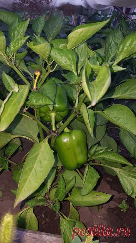 Как мне Пшено помогает каждый год выращивать богатый урожай Перца. Делюсь рецептом   КОТоПЁСоМАНИЯ   Яндекс Дзен